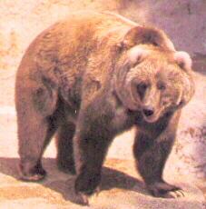 L'ours Kodiak est l'une des plus gros.