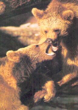 Le pelage de l'ours Syrien est généralement plus clair que celui de la plus part des ours bruns.